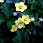 Waldsteinia ternata - Dreiblatt-Golderdbeere