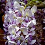 Wisteria sinensis - Glycine, Chinesischer Blauregen