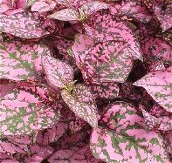 Polkadot-plant