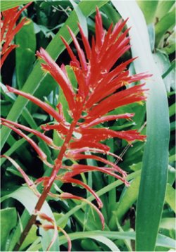 Pitcairnia