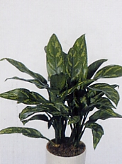Aglaonema pictun