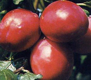 European plum