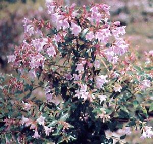 http://image.gardening.eu/piante/Immdata/abelia_edward_goucher_2.jpg