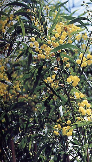 Orange wattle