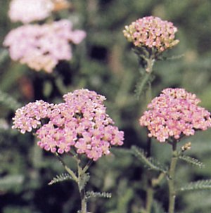 Common yarrow, Millfoil