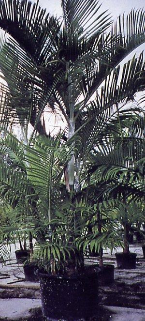 Alexandra palm