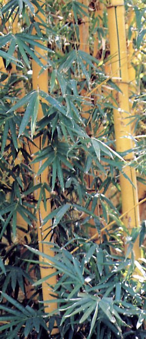 Common bamboo