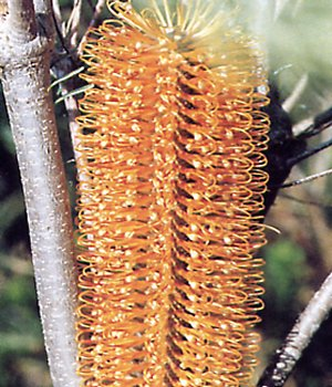 Heath-leaf banksia
