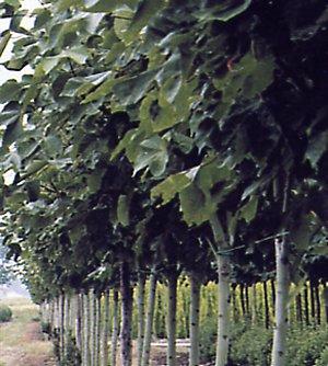 Brachychiton platanifolia