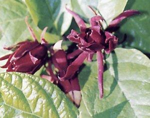 Western sweetshrub