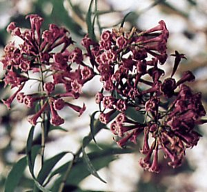 Purple cestrum