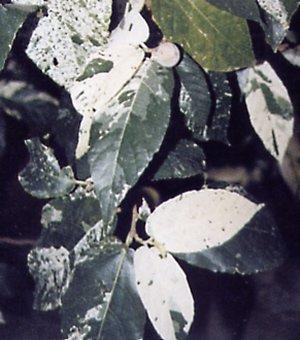 Ficus aspera
