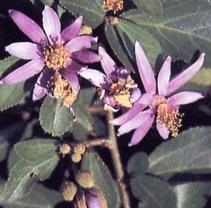 Crossberry