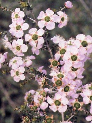 Leptospermum rotundifolium