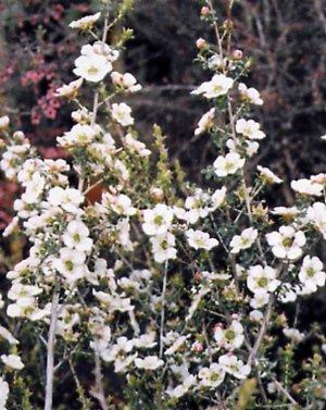 Leptospermum rotundifolim