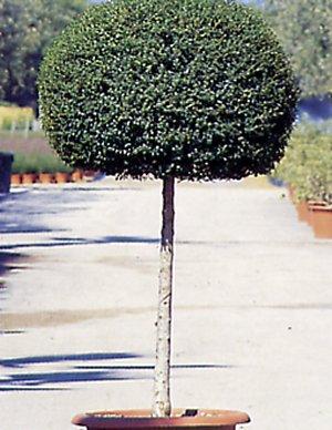 Ligustrum delavayanum
