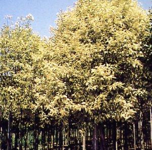 Ligustrum lucidum