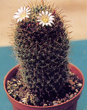 Mammillaria wildii