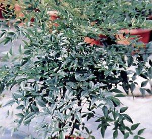 Sacred bamboo