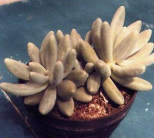 Pachyphytum btacteosum