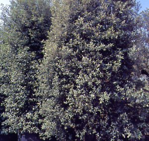 Holly oak, Quercus ilex - Masts - Fagaceae garden