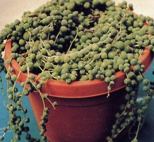 Senecio rowleyanus - Succulent Plants - Asteraceae garden