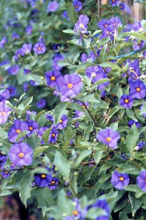 Solanum rantonnetii, Royal Robe - Climber plants - Solanaceae garden