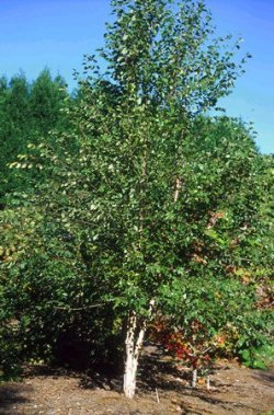 Betula albo-sinensis