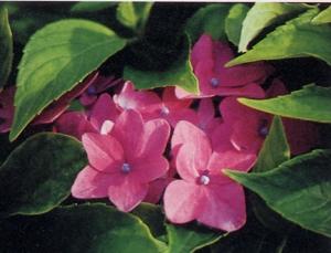 Hydrangea macrophylla nana