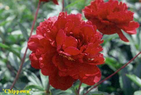Paeonia erbacea