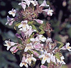 Abelia umbellata