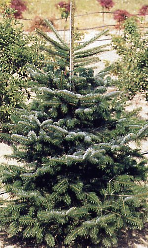 Abies nordmanniana