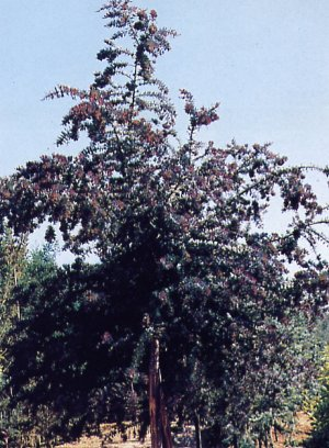 Acacia bayleiana