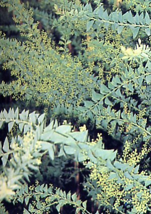 Acacia cultiformis