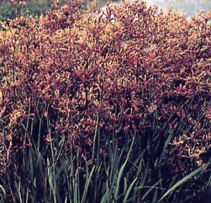 Anigozanthos flavidus