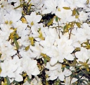Azalea palestrina