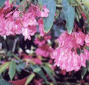 Begonia discolor