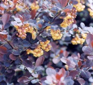 Berberis ottawensis