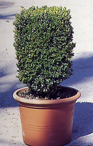 Buxus microphylla