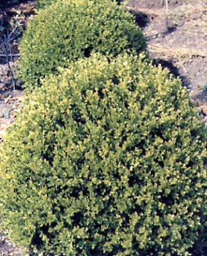 Buxus macrophylla