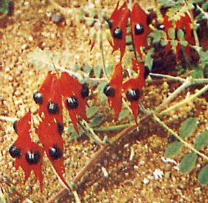 Clianthus formosus