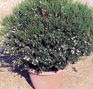 Coleonema pulchrum