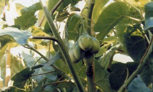Cyphomandra crassicaulis