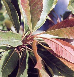 Eriobotrya deflexa