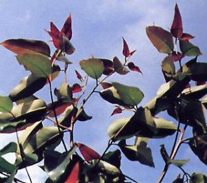 Eucalyptus robusta