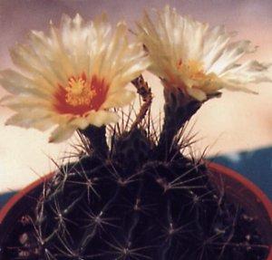 Ferocactus setispinus