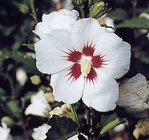 Hibiscus syriacus