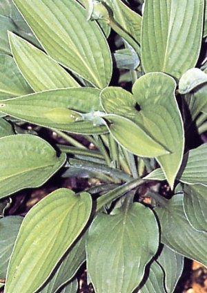 Hosta tardiflora