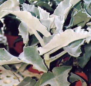 Kalanchoe beharensis