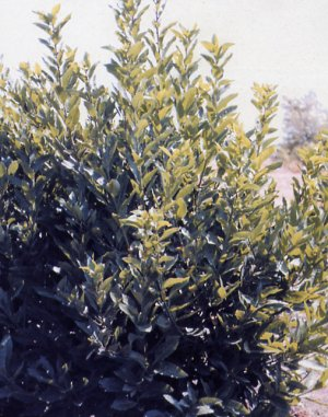 Laurus canariensis
